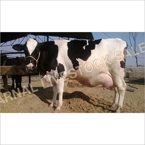 Supplier Hf Cows