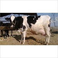 Supplier Hf Cows
