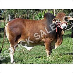 Sahiwal Bull