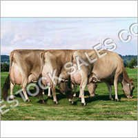 Jersey Livestock Cows