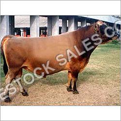 Murrah Bull