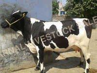 Hf Jersey Crossbreed Cattle