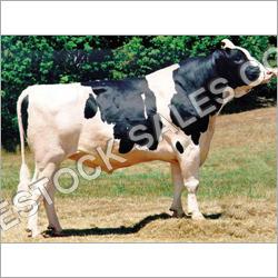 HF Bull