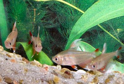 Fish Ornate tetra