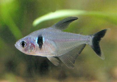 Fish Black Phantom Tetra