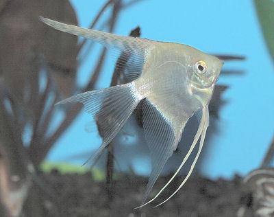 Angelfish(Silver)