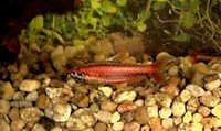 Fish Red Arc Pencilfish