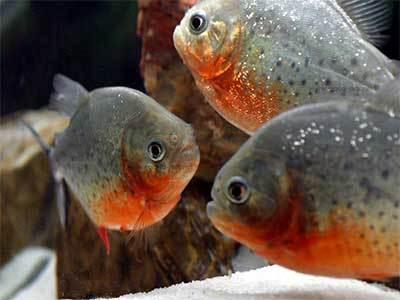 Fish Red Piranha