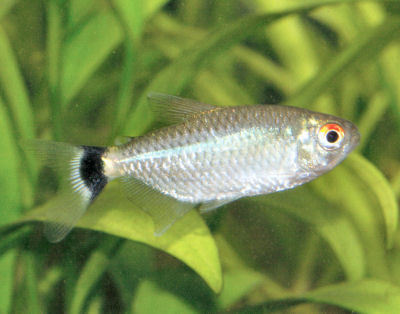 Fish Red Eyed Tetra
