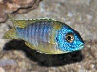 fish Aulonocara