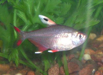 Fish Rosy tetra