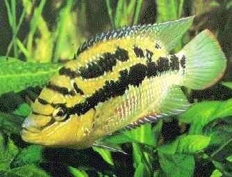 Fish Salvini Cichlid