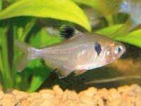 Fish Serpae Tetra