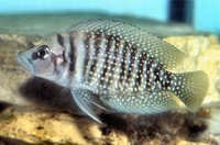 Fish White Pearly Calvus