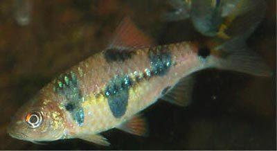 Fish Clown Barb