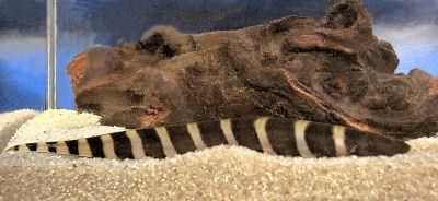 Zebra Knifefish