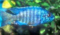 Fish  Aulonocara Fort Maguire
