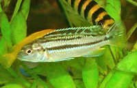 Fish Auratus Golden Cichlid