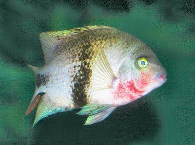 Fish Black Belt Cichlid