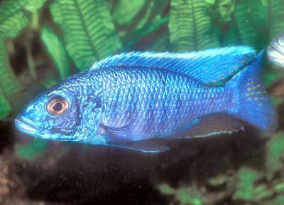 Fish Electric Blue Hap