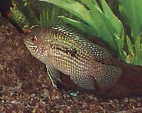 Fish Blue Acara