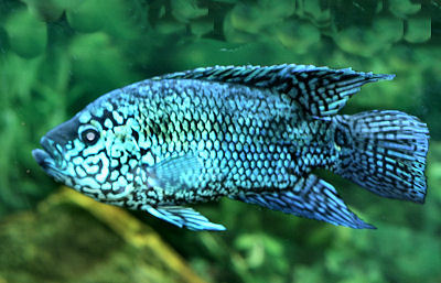Fish Electric Blue Jack Dempsey