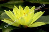 Yellow Lotus Attar