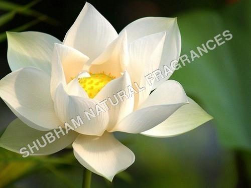 White Lotus Absolute