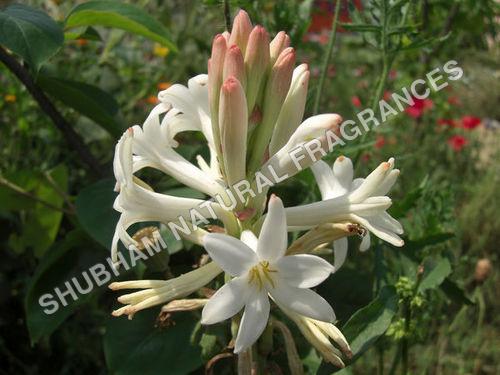 Tuberose Absolute (Polyanthes Tuberosa)