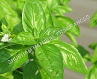 Basil Oil (Tulsi Attar)