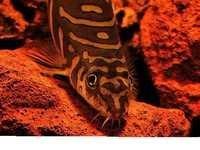 Fish Zodiac Loach