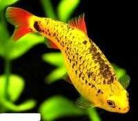Fish Neon Gold Barb