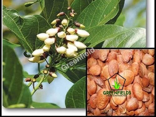 Karanj Seeds ( Millettia Pinnata )
