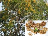 Bija Tree Seeds ( Pterocarpus Marsupium )