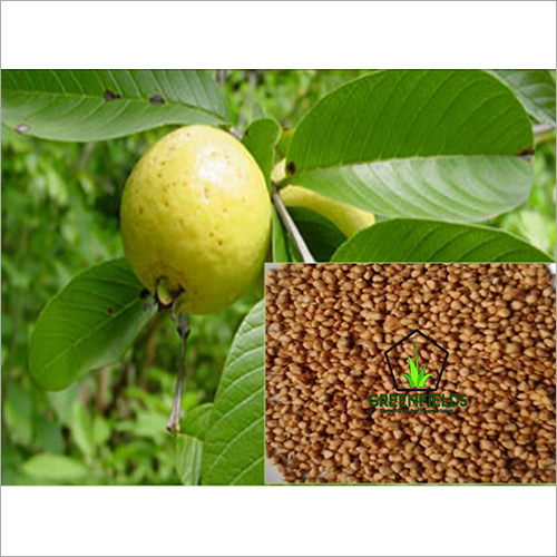 Guava Fruit Seeds ( Psidium guajava )