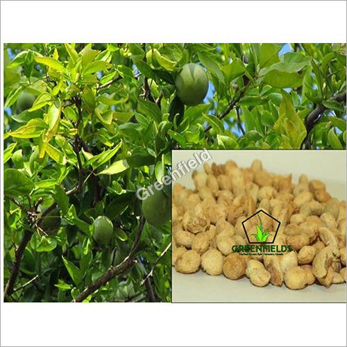 Bael Fruit Seeds ( Aegle Marmelos )