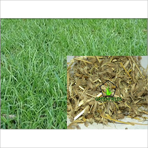 Dinanath Grass / Forage / Fodder  Seeds ( Pennis )