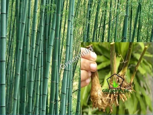 Bamboo Rhizome Katanga ( Bambusa arundinacea )