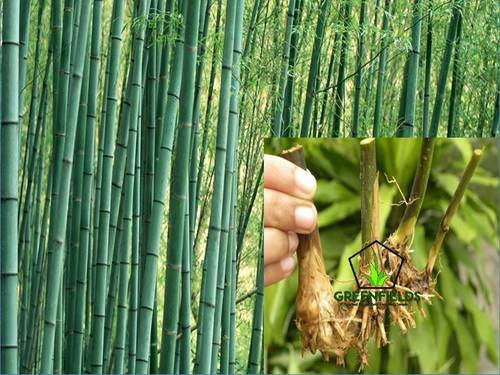 Teak Root Shoot