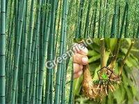 Bamboo Rhizome Deshi ( Dendrocalamus strictus )