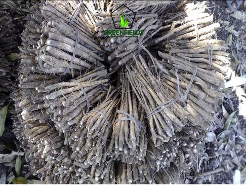 Teak Root Shoot (Tectona Grandis)
