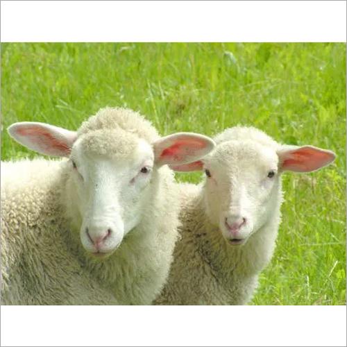 Lamb Starter Feed