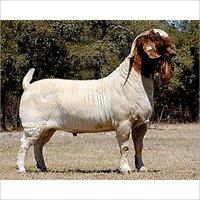 Goat Fattening Feed
