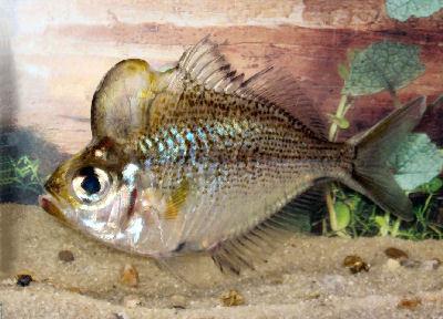 Humphead Glassfish