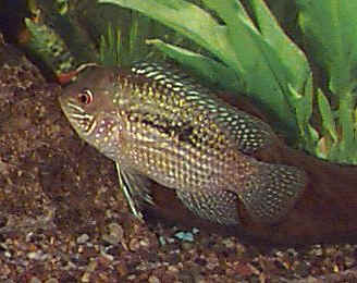 Fish Blue Acara