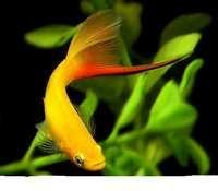 Fish Hifin Swordtail