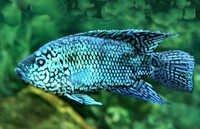 Fish Blue Daktari