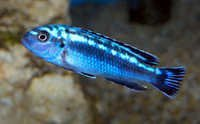 Fish Electric Blue Johannii