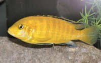 Fish Electric Yellow Cichlid