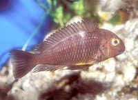 Fish Blue Neon Cichlid